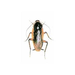 蟑螂防治服務